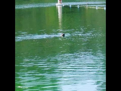 bayarea, wild river otter family at Lake Temescal today (reddit) GIFs