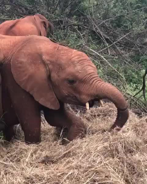 adopt, bekindtoelephants, dswt, elephants, enkesha🐘, kenya, rescue, sheldrick wildlife trust, sheldricktrust, whyilovekenya, Enkesha can't resist diving headfirst into a lovely soft pile of lucerne GIFs
