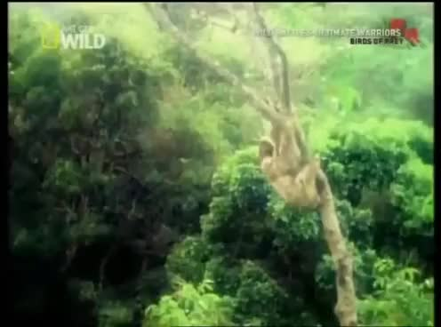 Watch and share Eagle Attacking Sloth HD GIFs on Gfycat