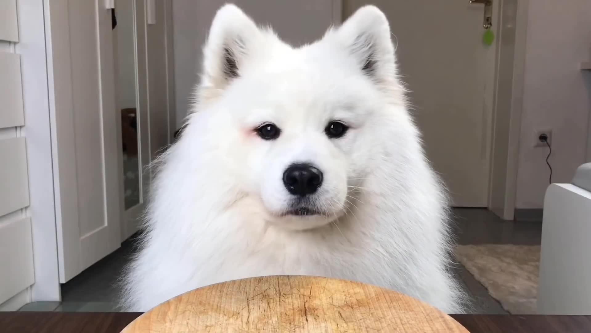 Maya, Maya samoyed, Mayapolarbear, animal, cute, cute dog, dog, funny, pet, samoyed, ASMR Dog Reviewing Different Types of Food #2 I MAYASMR GIFs