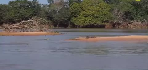 Watch and share Jaguar Gets Some Caiman For Dinner  GIFs by LimeLights  on Gfycat