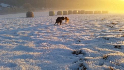 Kody, Sammy, amazing, animals, bordercollie, breathtaking, dogs, gif, gifs, morning, pets, puppy, running, scenery, sheltie, shetlandsheepdog, snow, sunrise, throwback, view, winter, Sheltiebros GIFs