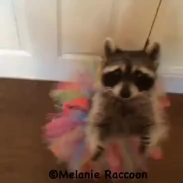 Watch Melanie Raccoon Ballerina GIF on Gfycat. Discover more related GIFs on Gfycat