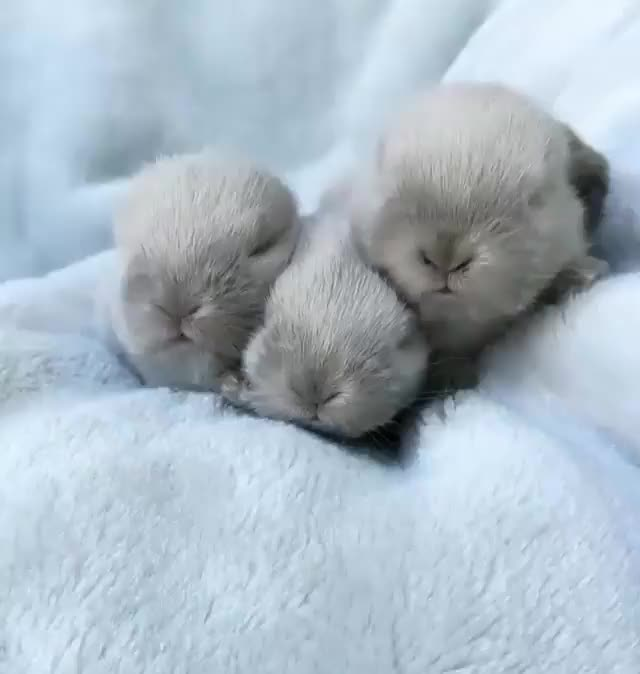 Watch /r/AnimalsBeingSleepy - from bunnyton_bunnies_new_zealand GIF by @cakejerry on Gfycat. Discover more aww, baby animals, bunny, cute GIFs on Gfycat