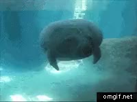 Watch and share Manatee Face Bump GIFs on Gfycat