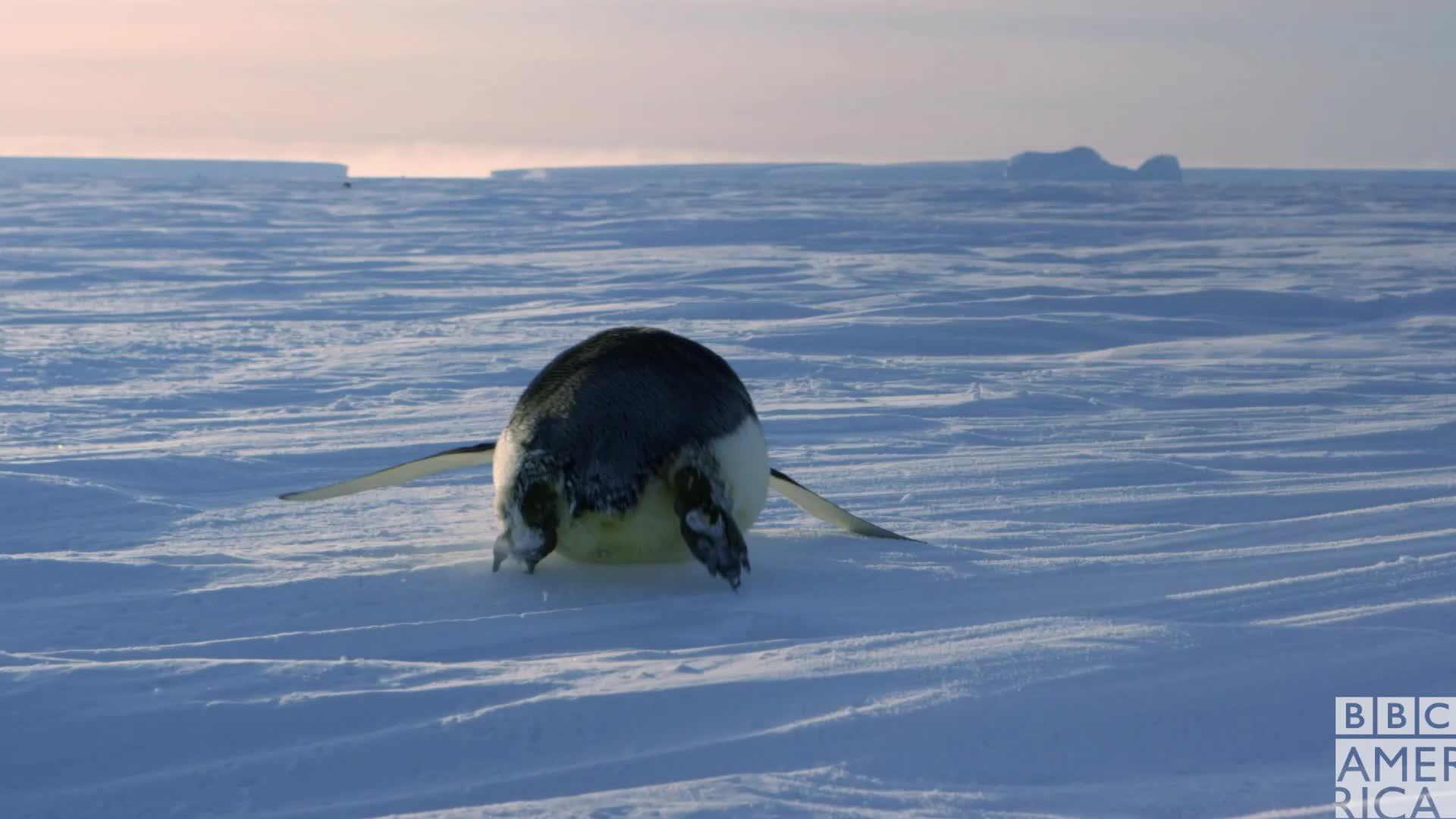 animal, animals, bbc america, bbc america dynasties, bbc america: dynasties, bye, dynasties, emperor penguin, emperor penguins, let's go, let's leave, peace, peace out, penguin, penguins, Dynasties Here I Go GIFs