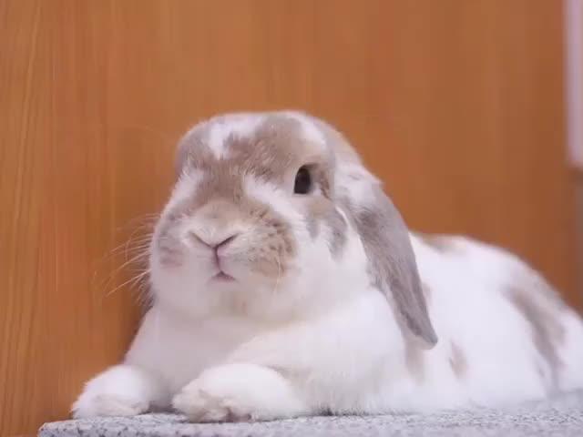 Watch ⋈*。゚ 2018/09/29 なでてほしそうな顔してる気がして #ポコたんホイホイ で誘ってみた...(๑´ლ`๑) ・ ・ すぐにむくっと起き上がって #すぽ ♡♡♡ ・ ・ 正直、こんなにうまくいくと思わなかった...。笑 ほんと可愛い子♡ ポコたん、大好きだ~♡ ・ ・  GIF on Gfycat. Discover more animalvideo, bunny, bunnyvideo, cutevideo, fabbunnies, hollandlop, ilovemypet, usagi, うさぎ, うさぎのいる暮らし, うさぎのポコたん(urara*), うさぎ動画, ふわもこ部, ホーランドロップ, ポコたんホイホイ, ポコたん動画, 土アップ祭, 甘えん坊うさぎ, 親バカ部 GIFs on Gfycat