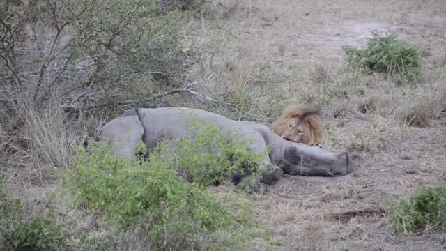 rhino getting eaten alive by a Lion
