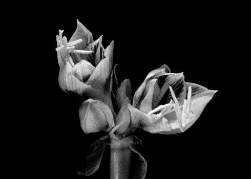 Watch and share Gif Love Black And White Flower Flowers Animated Gif Time Lapse ... GIFs on Gfycat