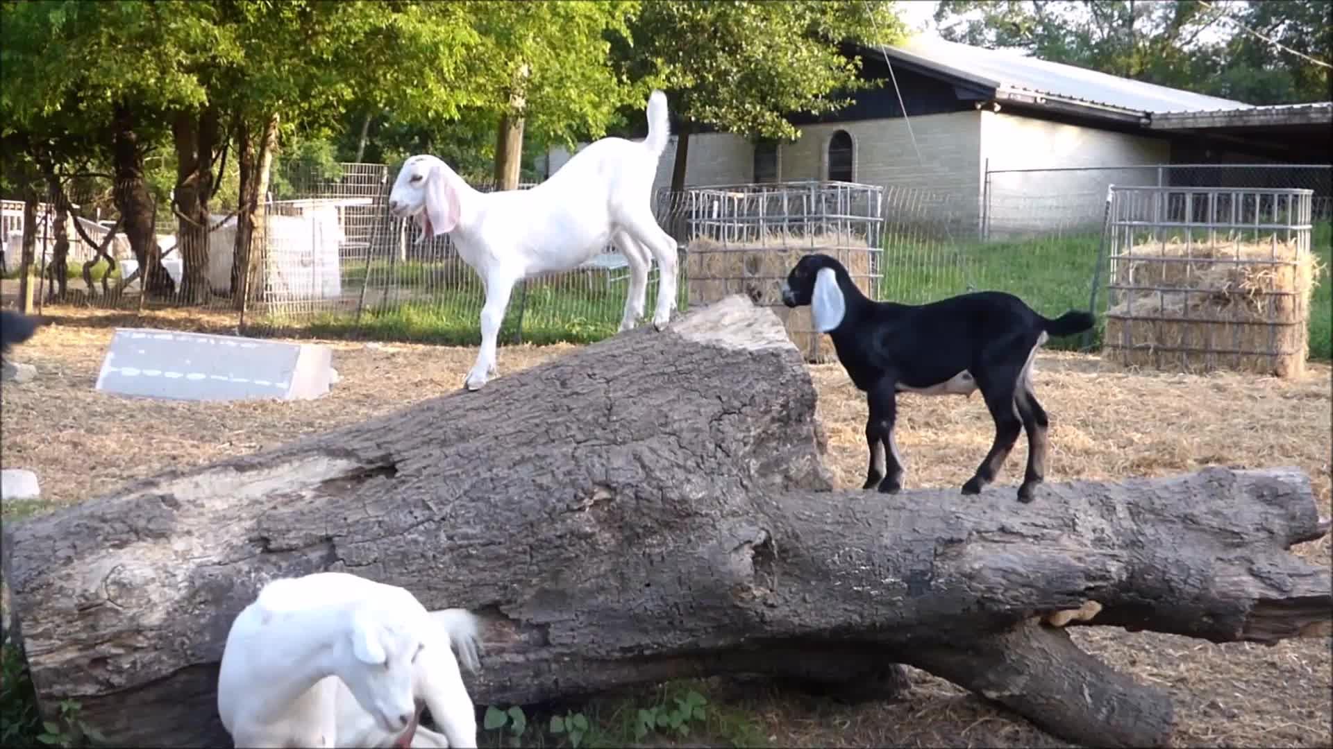 aww, eyebleach, goat, goatparkour, goats, knsfarm, nubians, Nubian Kid Parkour GIFs