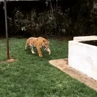 StartledCats, fuckingmanly, We've all seen tigers scare the shit out of people, but have you ever seen a man scare the shit out if a tiger? (reddit) GIFs