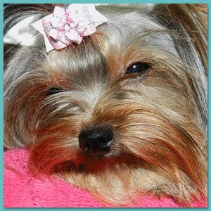 Watch and share Yorkshire Terrier Photos GIFs on Gfycat