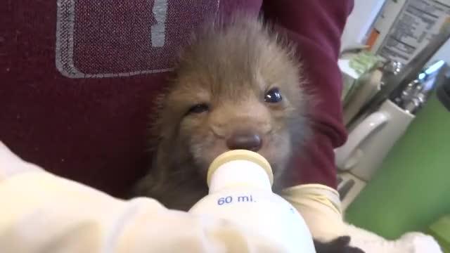 Watch /r/foxgifs GIF by @cakejerry on Gfycat. Discover more aww, baby animal, cute, fox GIFs on Gfycat