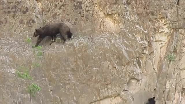 Watch and share Mexican Black Bear GIFs and Stephanie Latimer GIFs on Gfycat