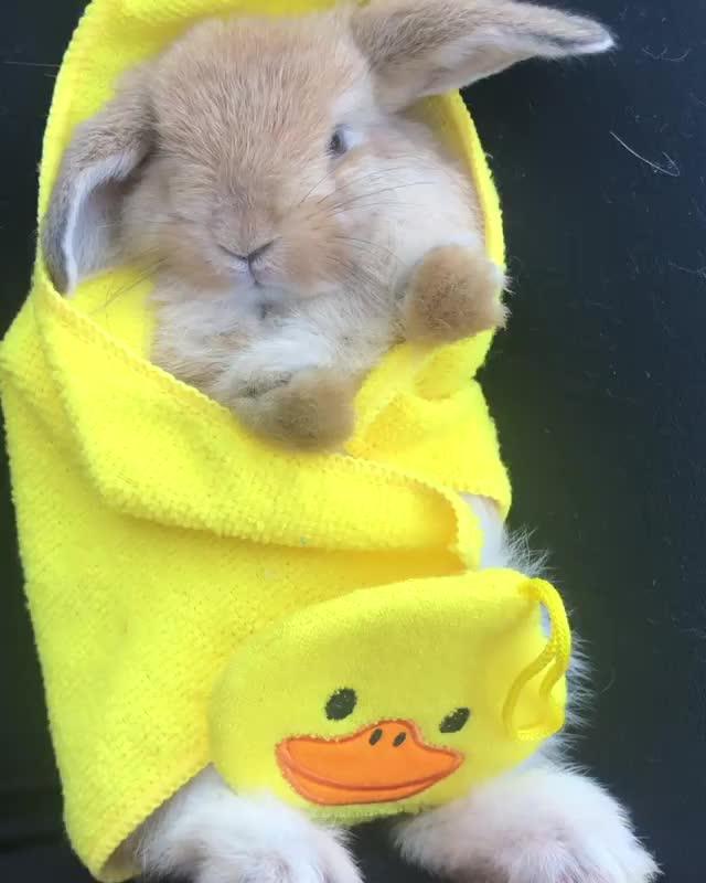 attention, bae, bunbun, bunniesofinstagram, bunnylove, hollandlops, loveabun, newjersey, newyork, video, Bunny relaxation massage • • • • GIFs