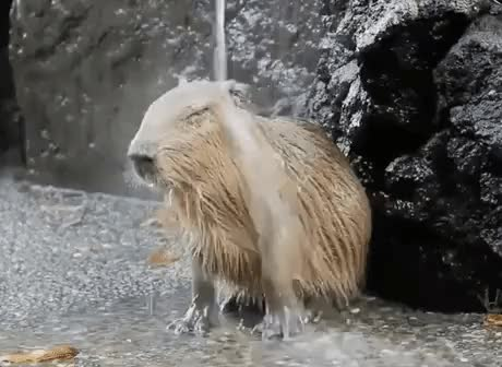 Watch and share Capybara GIFs by Streamlabs on Gfycat