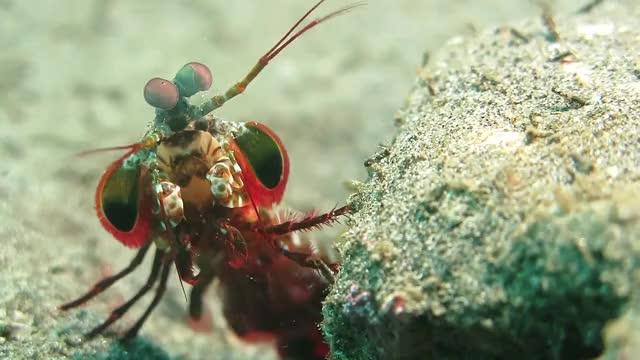 Watch Mantis Shrimp Swimming || ViralHog GIF by slimjones123 on Gfycat. Discover more viralhog GIFs on Gfycat