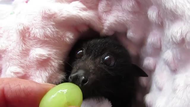 Watch Baby bat Miss Tiffany GIF on Gfycat. Discover more Batzilla the Bat, baby bat, bat in care, bats, cute baby bat, cute bat, cute orphan, flying fox, flying fox baby, rescued bat GIFs on Gfycat