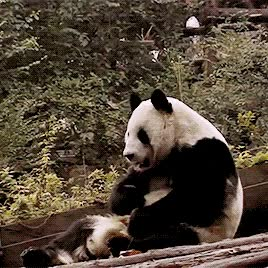 Watch and share Sleeping Panda GIFs on Gfycat
