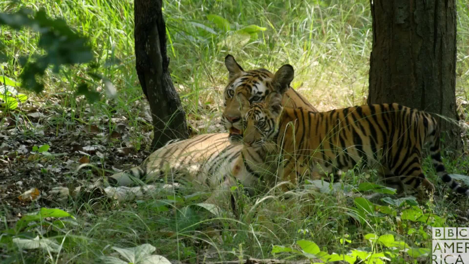 angry, animal, animals, bbc america, bbc america dynasties, bbc america: dynasties, dynasties, tiger, tigers, Dynasties Tiger Cub Hissing GIFs