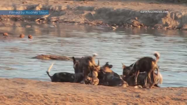 Watch and share African Wild Dogs Killing A Wildebeest GIFs on Gfycat