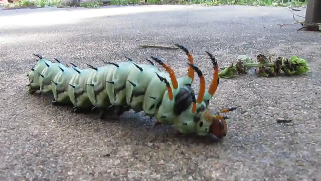 caterpillar, hickory horned devil worm, jay sun bay lore, moth, music, hickory horned devil worm GIFs