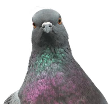 Watch and share Pigeon GIFs on Gfycat