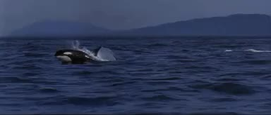 Watch and share Killer Whales GIFs and Orcinus Orca GIFs on Gfycat