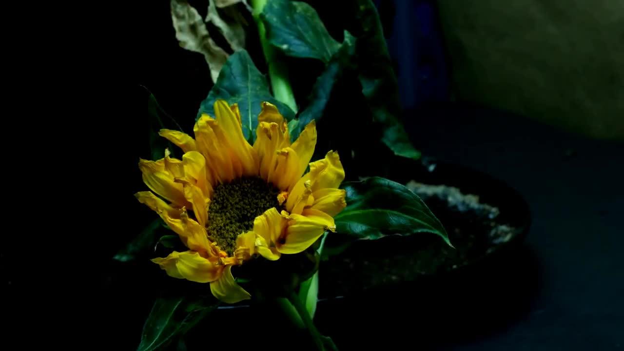 Growing, anthesis, bloom, bud, chlorosis, flower, garden, girasol, green, growing, helianthus, heliotropism, hojas, mini, nastism, petals, semilla, stamen, talo, time-lapse, tropism, 9 GIFs
