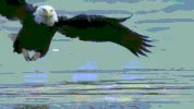 Watch Bald Eagles GIF on Gfycat. Discover more related GIFs on Gfycat
