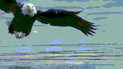 Bald Eagles GIFs