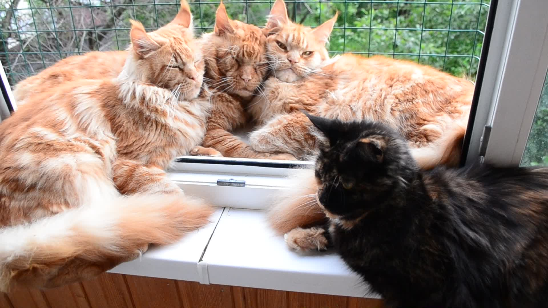 Cat, Friendly cats Maine Coon GIFs