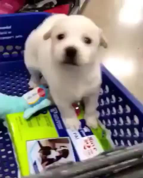 Watch and share Mylittledog GIFs and Instapuppy GIFs by vani  on Gfycat