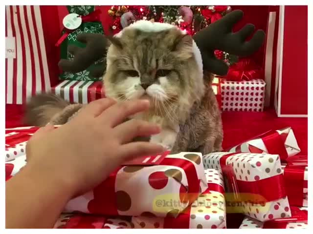 People & Blogs, catnotsharing, catnotsharinggifts, chloey kenshin, cutecats, funnycatvideo, greedycats, kenshincat, kittychloeykenshin, reindeer, Kenshin Cat won't let you touch the Christmas presents again! GIFs