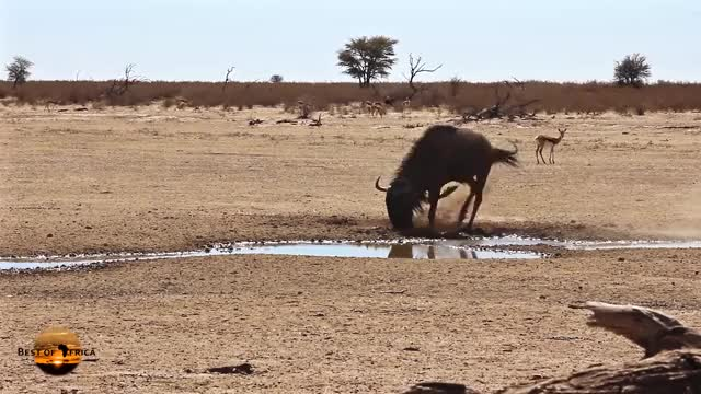 Watch and share Marking Territory GIFs and Wildebeest Africa GIFs by SmartPossum on Gfycat