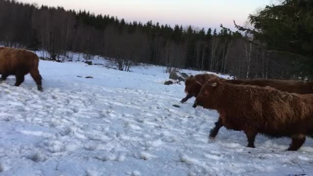 Watch and share Highland Cattle GIFs and Winter GIFs by Highland Cattle of Saarela on Gfycat