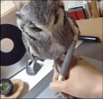 Watch this owl GIF by Elaine Cheng (@elainecheng) on Gfycat. Discover more animals, aww, owl GIFs on Gfycat