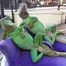 cute, lizards, relaxing, two lizards relaxing GIFs