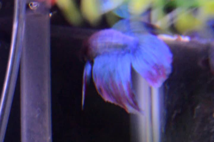 bettafish, Maybe one day Eggplant will realize that it's only his reflection... Will he though? (reddit) GIFs