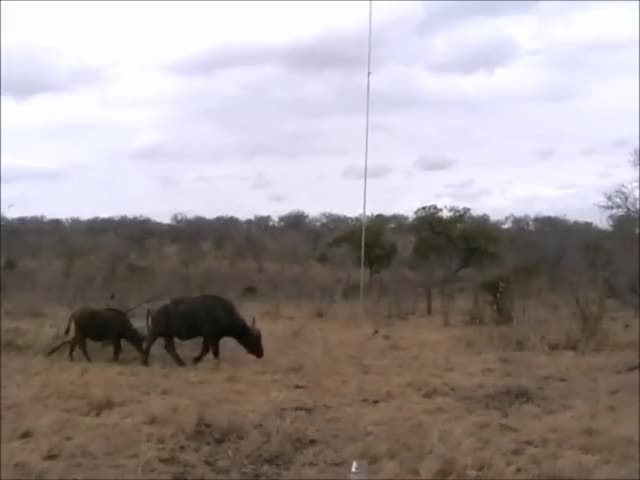 Watch and share A Cape Buffalo And Her Calf Get Ambushed GIFs by Pardusco on Gfycat