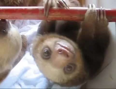Watch this animal GIF on Gfycat. Discover more animal, animals, sloth, wow GIFs on Gfycat