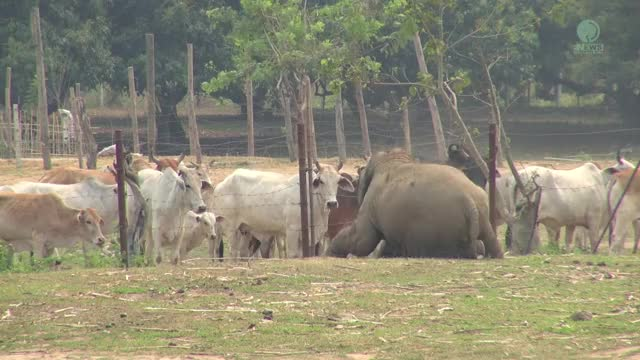 Watch Baby Elephant And Cows GIF on Gfycat. Discover more babyelephantgifs, elephant nature park, elephant thailand GIFs on Gfycat