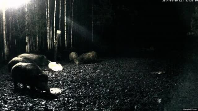 Watch 🐗 boar GIF on Gfycat. Discover more related GIFs on Gfycat