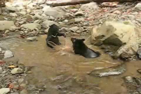 BearCubGIFs, bearcubgifs, Moon bear cubs enjoying wrestling in the water (reddit) GIFs