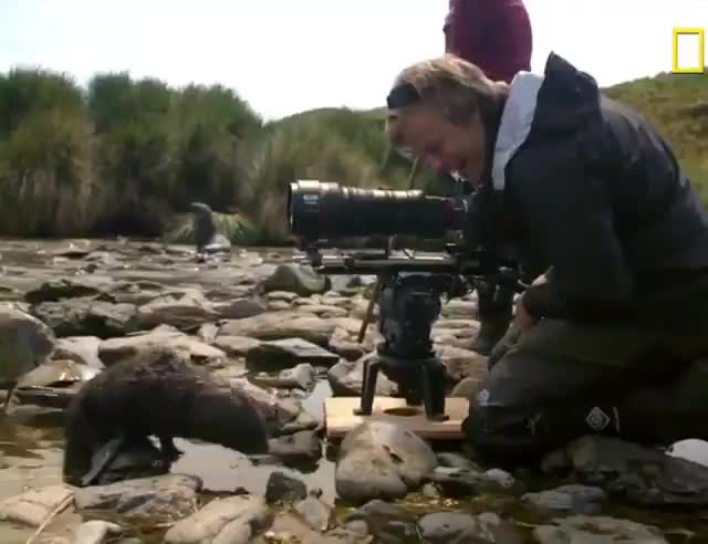 nature, Adorable fur seal pup checking out a wildlife photographer GIFs