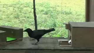 Watch and share Crow GIFs by Vinegret on Gfycat