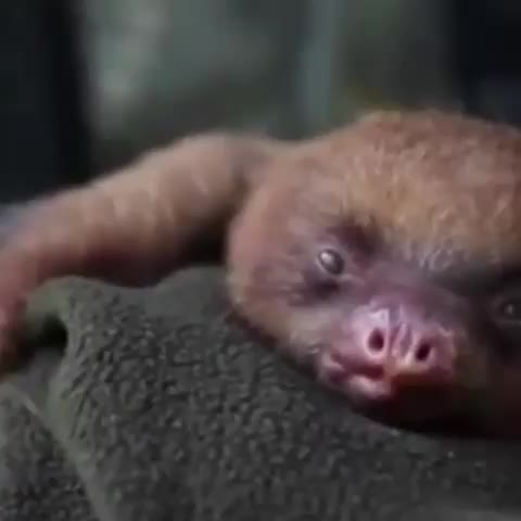 Watch and share Sloth Yawn GIFs by Boojibs on Gfycat
