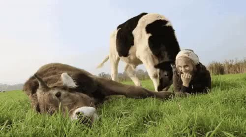 Watch and share Cows GIFs on Gfycat