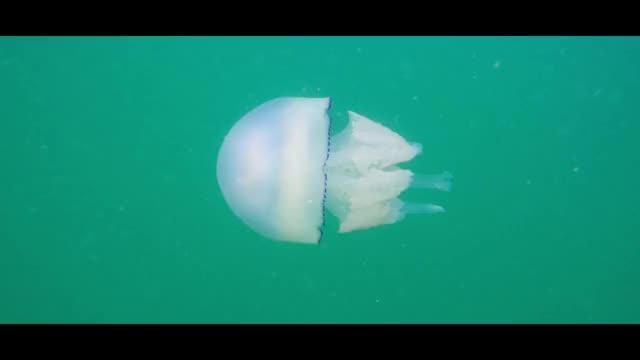Watch Barrel Jellyfish Navigating The Oceans GIF by @waterstories on Gfycat. Discover more barrel jellyfish, depths below, freediving, jellyfish, loop, ocean, sea life, snorkeling, underwater, water GIFs on Gfycat