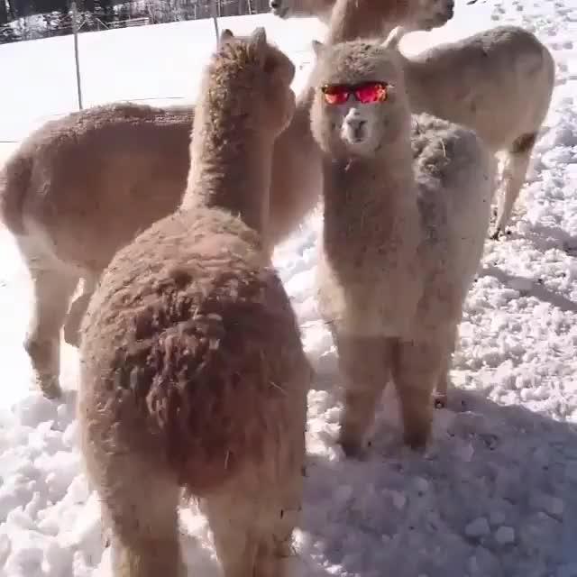 Watch this alpaca GIF on Gfycat. Discover more alpaca, alpacas, glasses GIFs on Gfycat